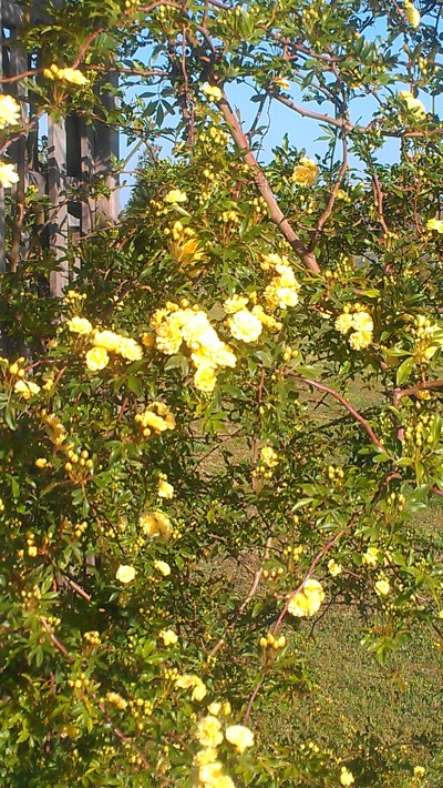 This is a yellow climbing rose.   (Don't remember the name.)