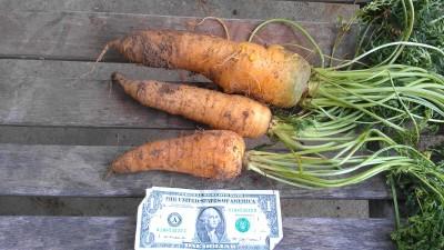 Huge Carrots from Eliot's Eats' garden