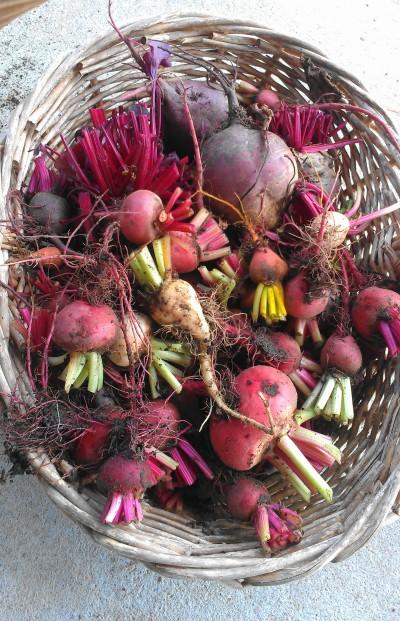 Beets from Eliot's Eats' Garden