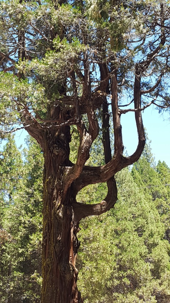 Interesting tree at Big Tree Lodge (Wawona Hotel)
