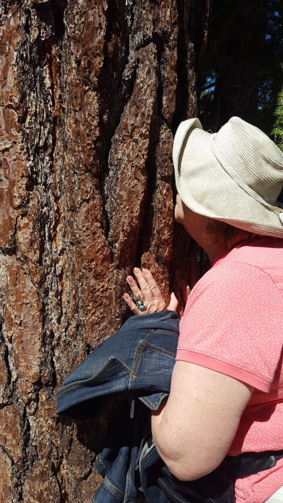 Mom smelling a Jeffrey Pine.  (Smells like butterscotch.)